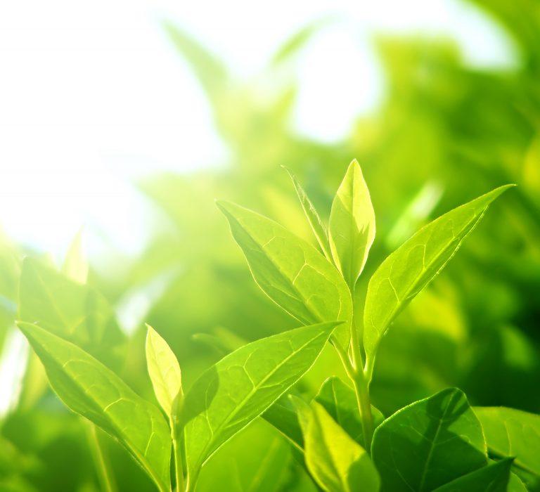 Feuilles de thé blanc