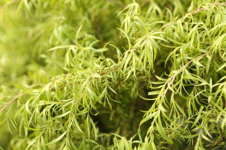 Branches d'arbre à thé