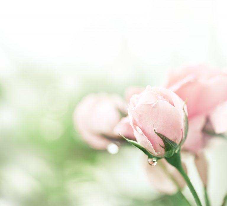 Bouton de rose mouillé