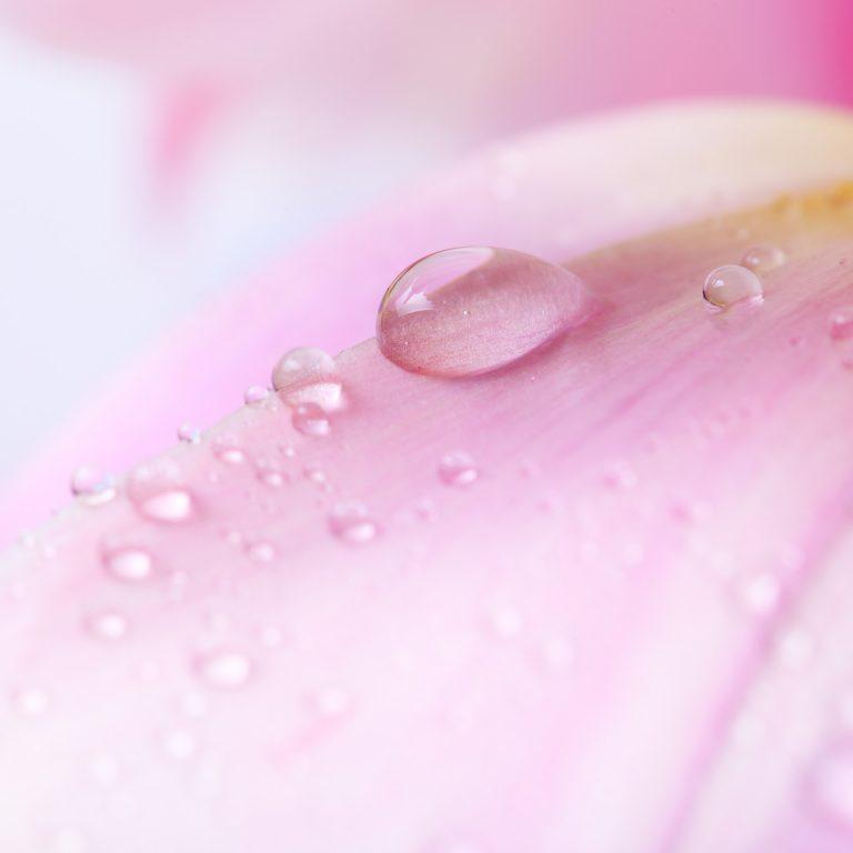 Goutte d'eau sur une rose
