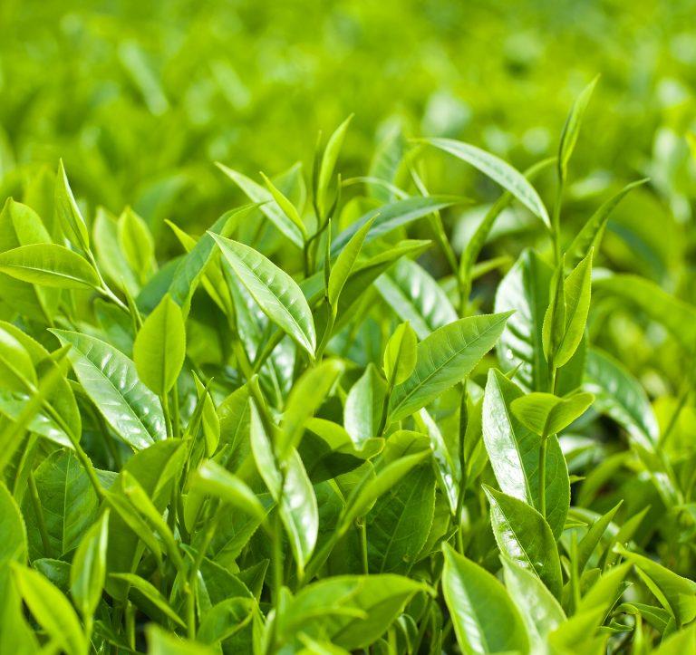 Champ de thé vert