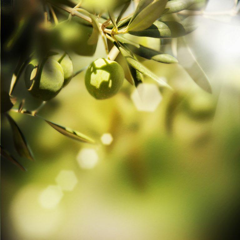 Olive sur une branche